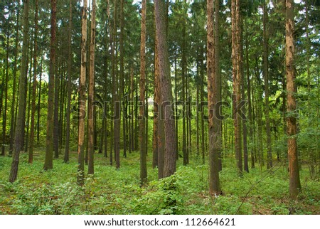 Spruce forest - stock photo