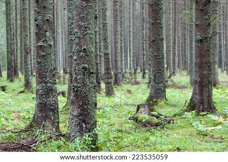 spruce forest, Fairy Forest, untouched spruce forest  - stock photo