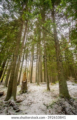 spruce forest, pinery, pine forest, Pine Tree, Fairy Forest, untouched spruce forest on spring