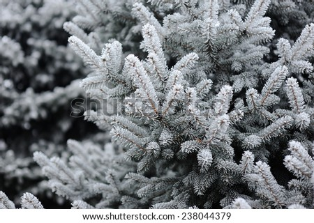 spruce in the snow. frost on the branches of spruce