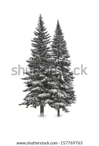 Spruce in the snow isolated on white - stock photo