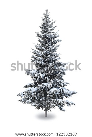 Spruce in the snow on a white background - stock photo
