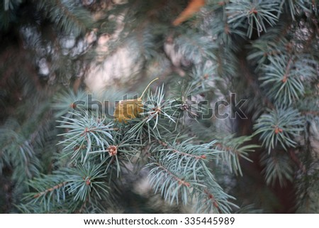 Spruce leaves close up