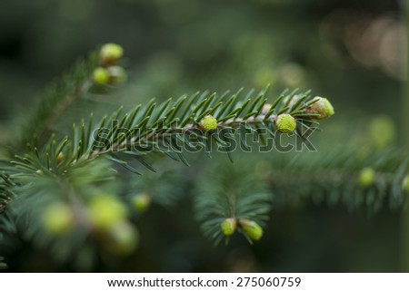 Spruce pine branch with young green cones; Close up - stock photo