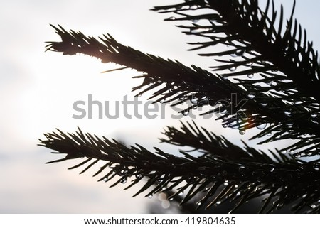 Spruce tree branch with rain droplets in bright backlight