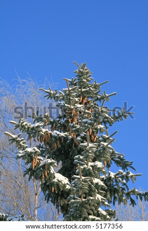 Spruce tree covered with snow, with birch at the background, against blue sky