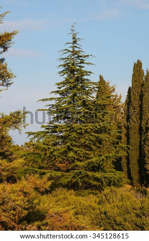 Spruce tree evergreen in park - stock photo