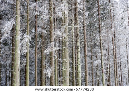 Spruce tree in winter forest