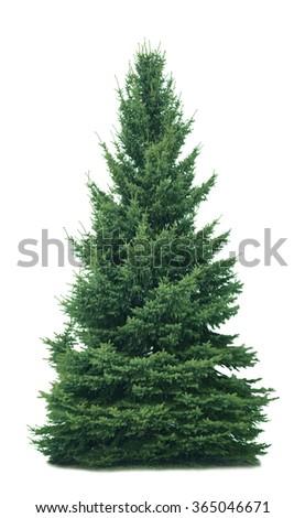 Spruce tree isolated on white background - stock photo