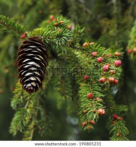 Spruce tree spring sprout blossom and cone on branch - stock photo