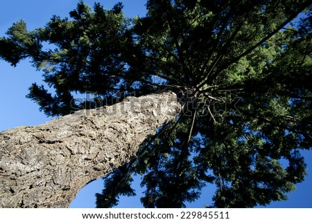 Spruce tree - strong aged trunk  - stock photo