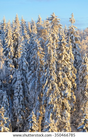 Spruce trees forest in winter - stock photo