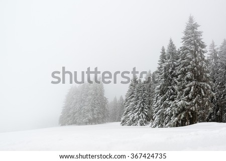 Spruce trees in foggy forest covered by snow in wnter landscape in the black forest during snowfall - stock photo