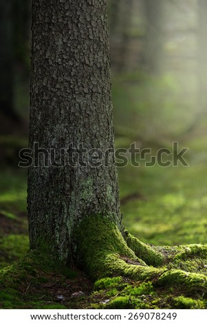 Spruce trunk in foreground with wonderful green moss during a spring morning - stock photo
