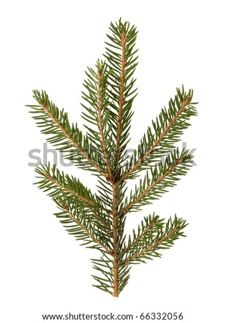 spruce twigs isolated on the white background - stock photo