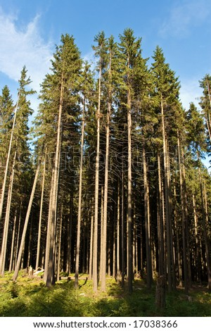 Spruces - stock photo