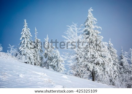 Spruces on slope of mountain