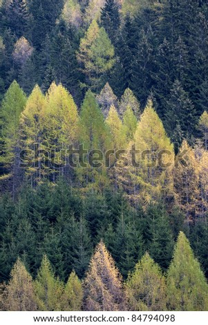Spruces  (Picea abies) and larches (Larix decidua)  forest in spring. Valleve, Valle Brembana, Italy. - stock photo