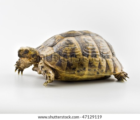 Spur-thighed Tortoise isolated on white - stock photo