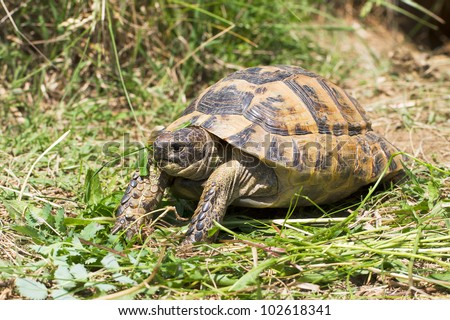 spur-thighed turtle eating grass / Testudo graeca ibera - stock photo