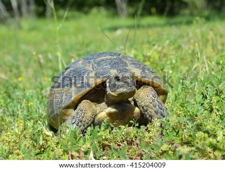 Spur thighed turtle (Testudo graeca) - stock photo