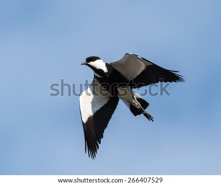 Spur-winged Lapwing in Flight - stock photo