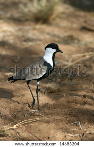 Spur Winged plover - stock photo