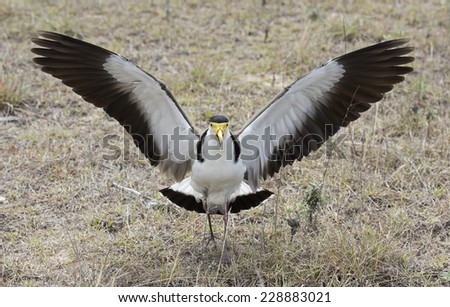 spur winged plover guarding a nest, North coast, Australia. - stock photo