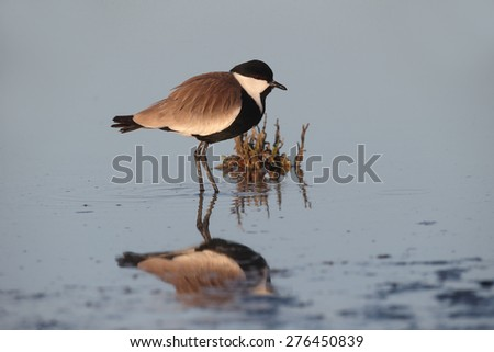 Spur-winged plover or lapwing, Vanellus spinosus, single bird in water, Cyprus, April 2015 - stock photo