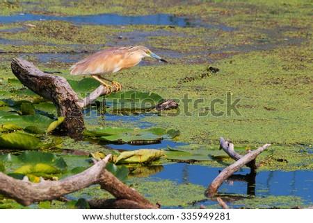 Squacco heron at a marsh - stock photo