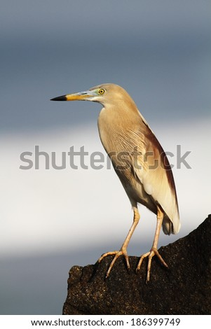 Squacco Heron, common squacco-heron, sea waves background - stock photo