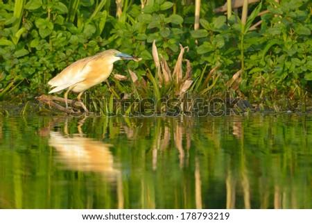 Squacco Heron Fishing in Danube Delta - stock photo