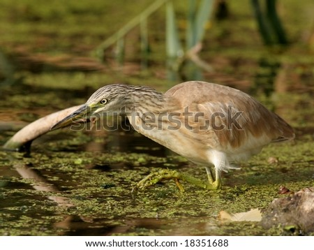 Squacco heron standing in a lake and waiting for fish