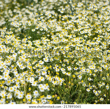 Square background of white summer daisies blooming in a meadow or field conceptual of nature, the environment and seasons - stock photo