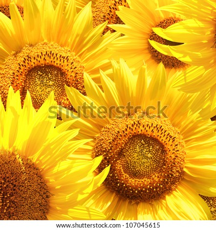 Square background with sunflowers - stock photo