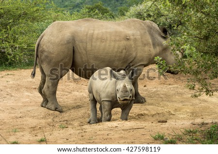Square lipped rhinoceros calf looking at camera with mother at Pilanesberg nature reserve South Africa (Ceratotherium simum)