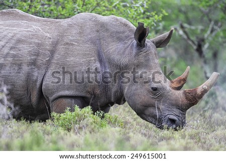 Square-lipped Rhinoceros (Ceratotherium simum) in the Amakhala Game Reserve, Eastern Cape, South Africa. - stock photo