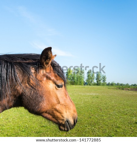Square photo of a brown horse with black mane alone in the large meadow. - stock photo