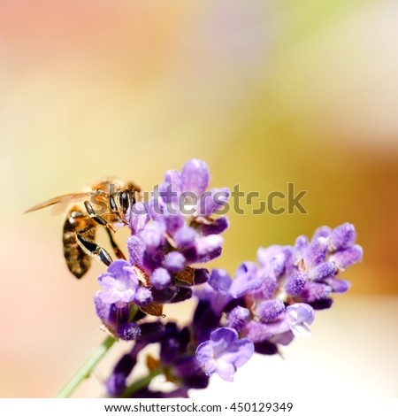 Square photo of honeybee. Detail of single bee which is collecting pollen on purple lavender bloom. Violet flower with detail of insect body. Macro photo of yellow bee body. - stock photo