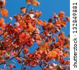 Square picture of vibrant red and orange autumn leaves against deep blue sky.  Reflects culmination climax of the seasonal cycle, could symbolise the retirement period in human life. - stock photo