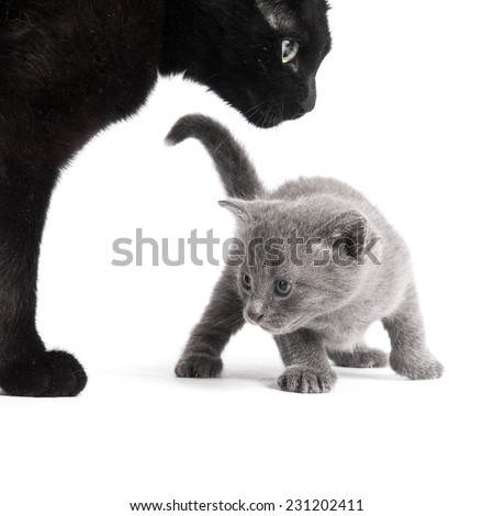 Square shot of a small grey kitten and its black mother - stock photo