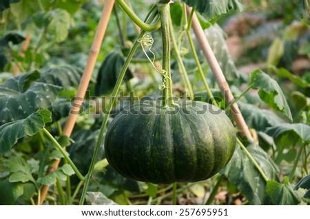 Squash crop - stock photo