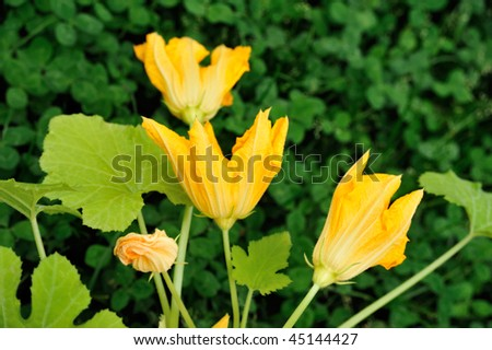 Squash flower and leaves - stock photo