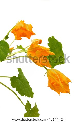 Squash flower and leaves isolated on white - stock photo