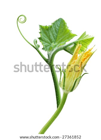 Squash leaves and flower isolated on white background - stock photo