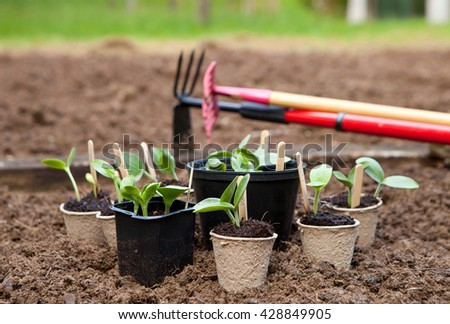 Squash plants ready to be planted in the garden - stock photo