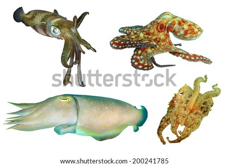 Squid, Octopus and Cuttlefish isolated on white background - stock photo