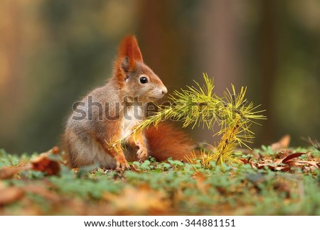Squirrel and larch branch