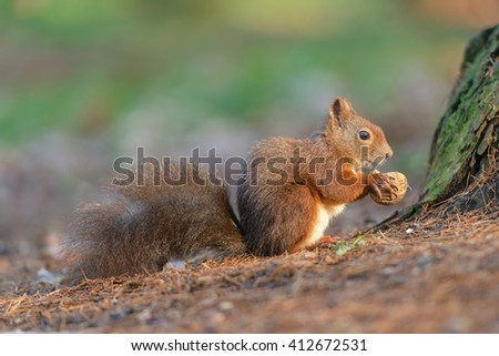 Squirrel and nut to snack