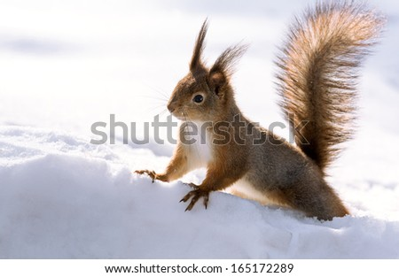 Squirrel closeup with white snow - stock photo